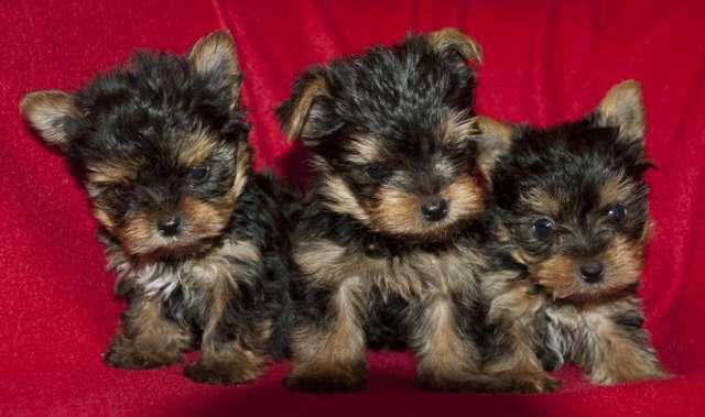 Cachorritos de yorkshire todos los tamaños