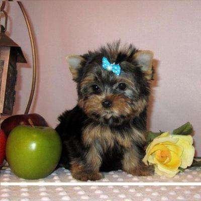 Regalo cachorros toy , de yorkshire terrier, pedigree macho y hembra