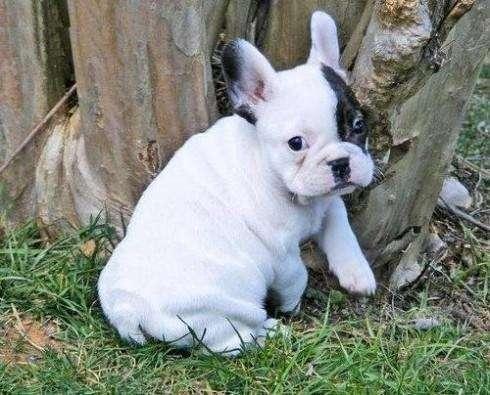 Cachorros bulldog frances macho y hembra disponibles