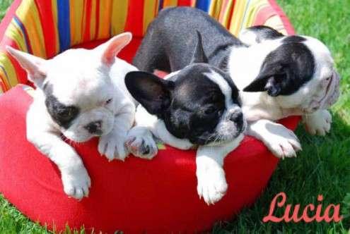 Cachorros bulldog frances su adopcion libre