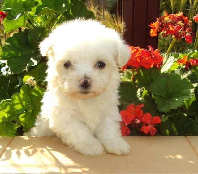 Preciosos cachorros de bichon maltes en oferta