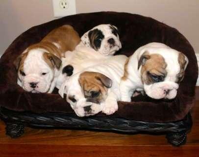 Bulldog ingles, excelentes cachorros