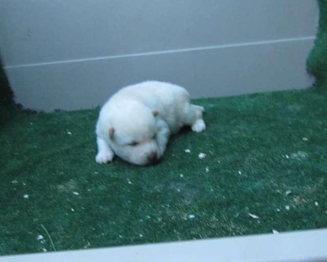 Shiba inu precioso cachorro macho de color crema
