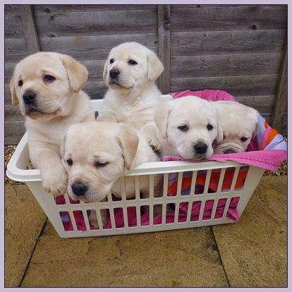 Gorgeous labrador cachorros para la adopción