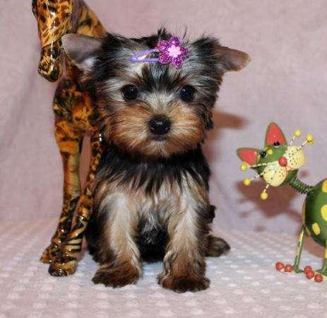 Cachorros malteses masculinos y femeninos para un nuevo hogar