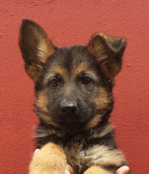 Pastor alemàn cachorros criadero