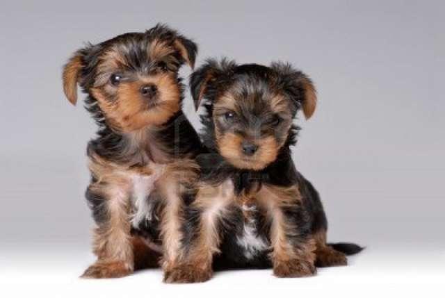 Regalo yorkshire mini cachorros