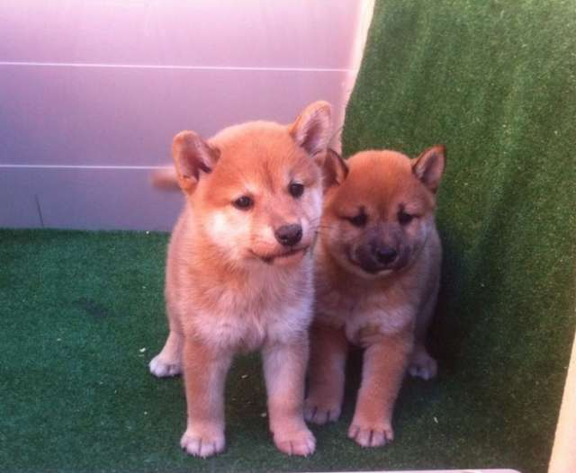 Shiba inu precioso cachorro macho de color rojo ! con pedigri !
