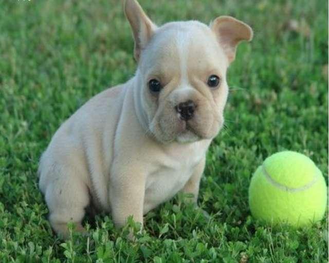 Preciosa camada bulldog frances con pedigree