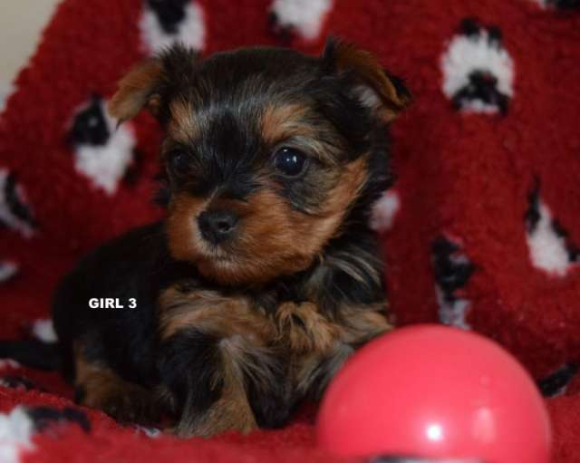 Regalo yorkshire terrier machos y hembras
