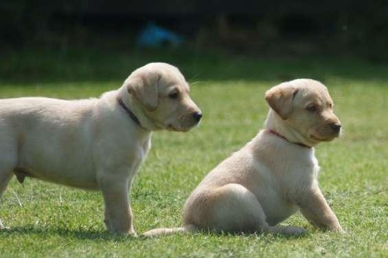 Hermosos labradores en adopcion machos y hembras