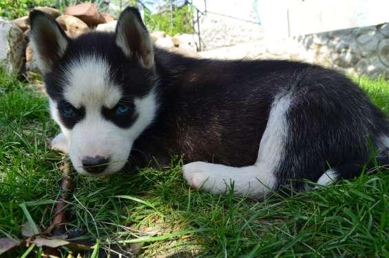 Cachorro de husky siberiano