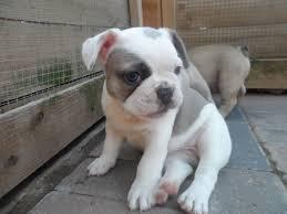 Cachorros bulldog francés lindo y muy saludables. póngase en contacto con para más detalle