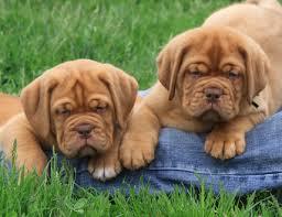 Cachorros dogo de burdeos de forma gratuita. varón y hembra disponibles para los nuevos ho