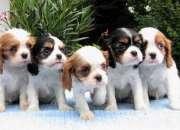 Cachorros Cavalier King Charles spaniel listo para su adopción