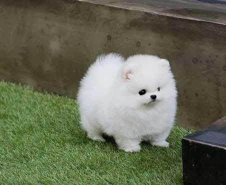 Perritos De Pomeranian Taza De Te Disponibles En Cenlle Animales
