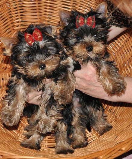 Regalo precioso cachorros de yorkshire terrier toy