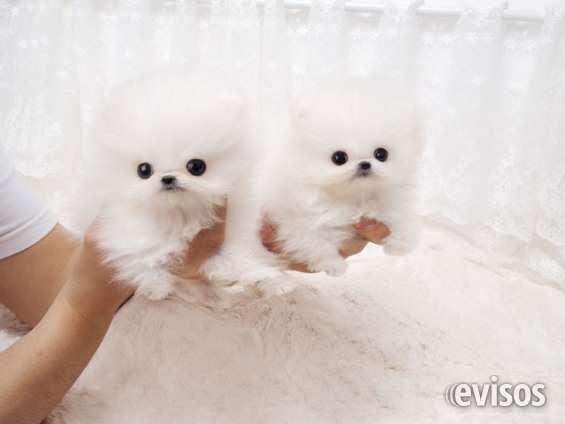 Crystal cachorros pomeranian minúsculo.