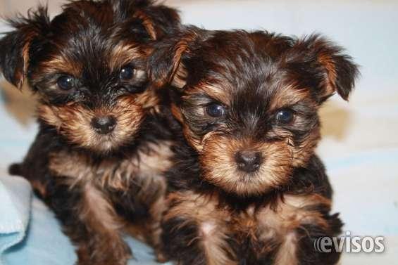 Valencia regalo cachorros de yorkshire terrier