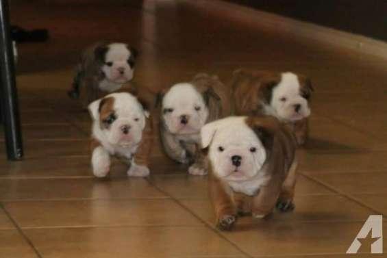 Cachorros de bulldog inglés - gratis .