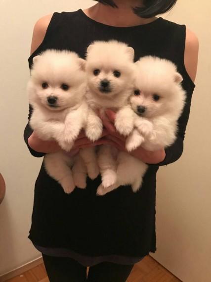 Ll;;; regalo fantástico y amigable cachorros de pomerania