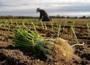 Importantes empresas agrícolas buscan personal para trabajar en diversas campañas de fruta
