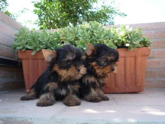 Regalo cachorros ed yorkshire en adopcion