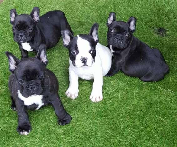 Cachorros bulldog frances disponables regalar